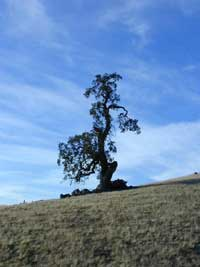 Ohlone, gnarlytree