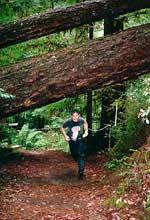 A competitor running under a huge fallen redwood tree at Big Basin State Park, 1996